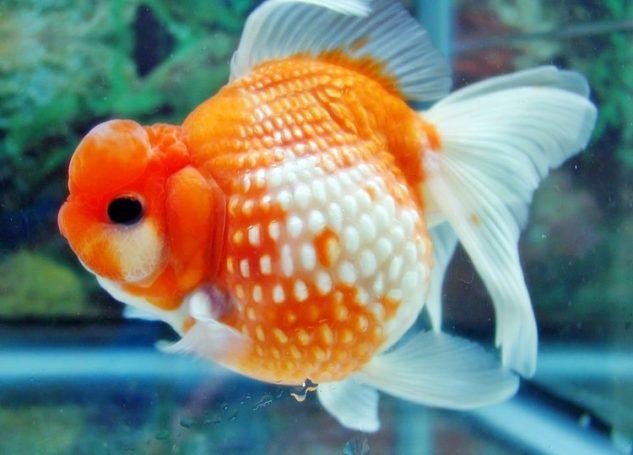 Mudahnya Budidaya Ikan Mas Koki Mutiara Ini Ragam Informasi