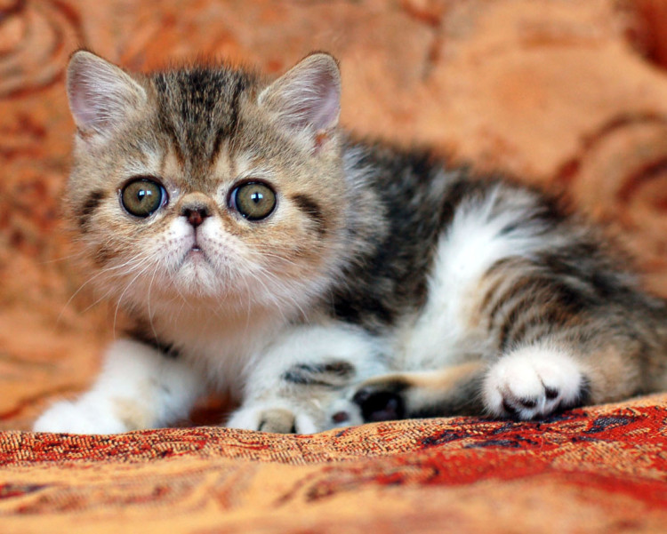 Mengenal Kucing Exotic Shorthair Ragam Informasi