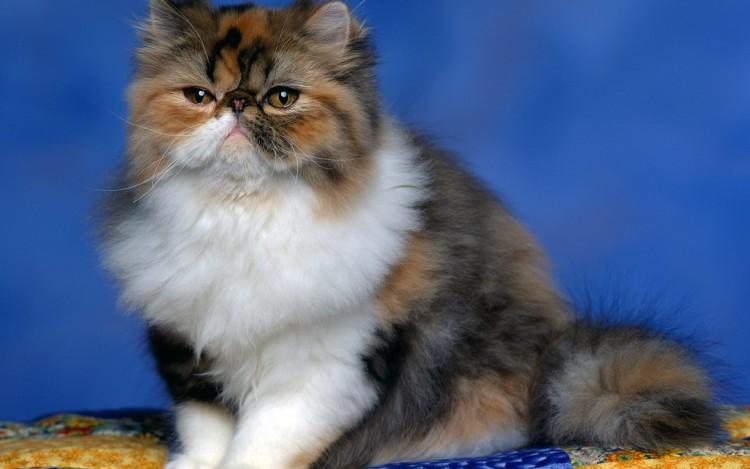 4 Makanan Kucing Persia Yang Menyehatkan Ragam Informasi