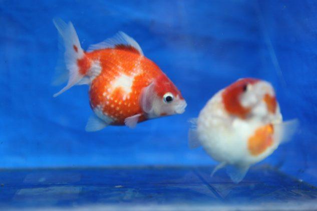 Cara Merawat Ikan Mas Koki Mutiara Ragam Informasi