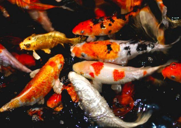 24 Jenis Dan Gambar Ikan Koi Ragam Informasi
