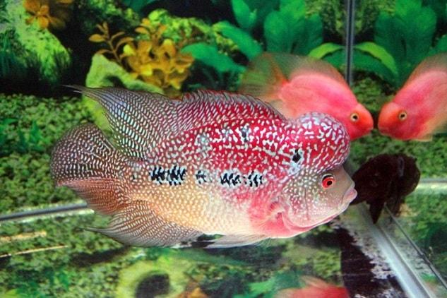 Cara Ternak Ikan Louhan Yang Benar Ragam Informasi