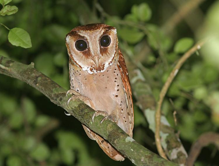 Ciri Ciri Jenis Dan Harga Burung Hantu Ragam Informasi